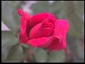 [Rose]